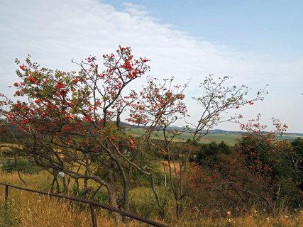FOTKA - jeřáb,osypaný červenými jeřabinami, typický strom Krušných hor