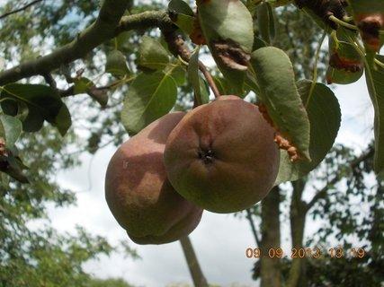 FOTKA - 9.9. + 8.9. - 17 - hrušky na stromě