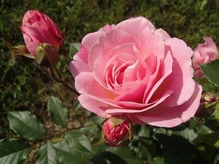 FOTKA - ružová ružička s pukmi