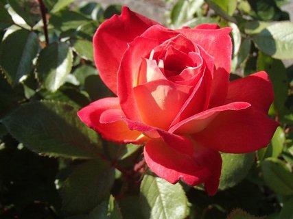 FOTKA - osamotená červená ruža