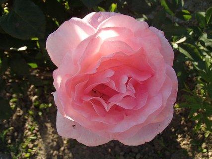 FOTKA - ružová ruža na slniečku