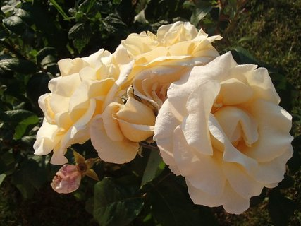 FOTKA - strapec smotanových ruží