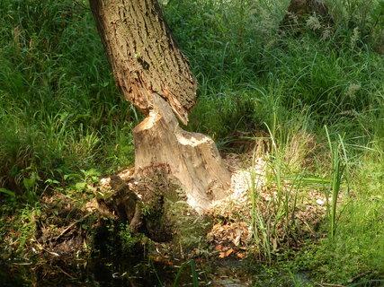 FOTKA - dílo bobra - v lužních lesích jižně od Břeclavi