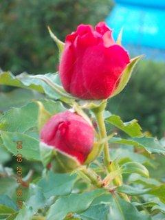 FOTKA - 10.9. - 9.9. - 2 - stále jsou poupátka na růžích