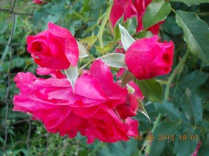 FOTKA - 10.9. - 9.9. - 3 - stále jsou poupátka na růžích