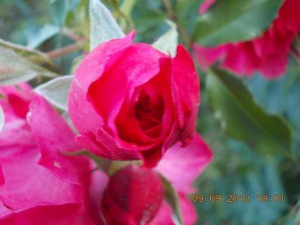 FOTKA - 10.9. - 9.9. - 4 - stále jsou poupátka na růžích