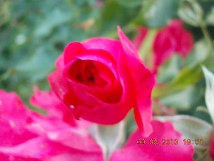 FOTKA - 10.9. - 9.9. - 5 - stále jsou poupátka na růžích