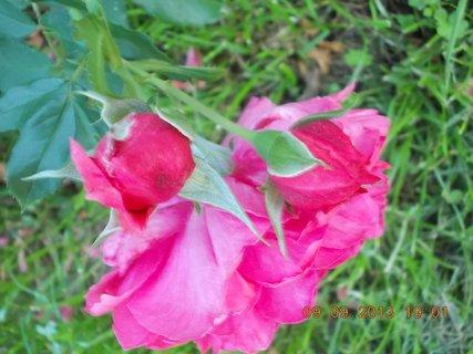 FOTKA - 10.9. - 9.9. - 7 - stále jsou poupátka na růžích