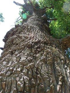 FOTKA - stoleté duby v LVA