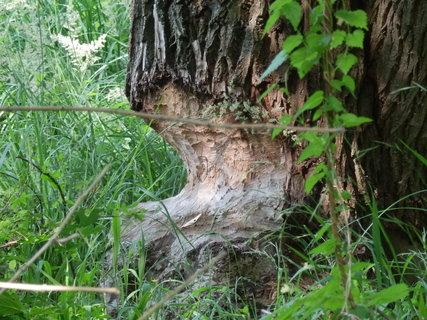 FOTKA - bobr není žádný troškař, tady zvolil pořádný strom ! (v lužních lesích cestou k soutoku Moravy a Dyje)