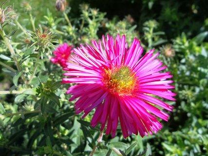 FOTKA - astřičky kvetou.