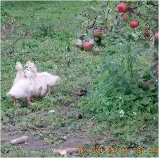 FOTKA - 10.září - 10 - kačenky utíkají, bojí se