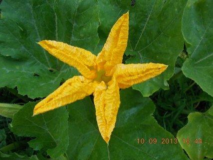 FOTKA - 10.září - 11 - květ dýně