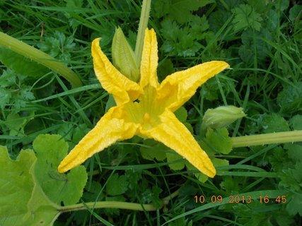 FOTKA - 10.září - 13 - květ dýně
