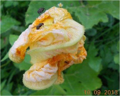 FOTKA - 10.září - 15 - květ dýně