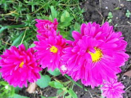 FOTKA - kvetou astry ...