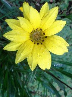 FOTKA - žlutý květ gazánie...