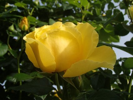 FOTKA - žltá ruža v polotieni