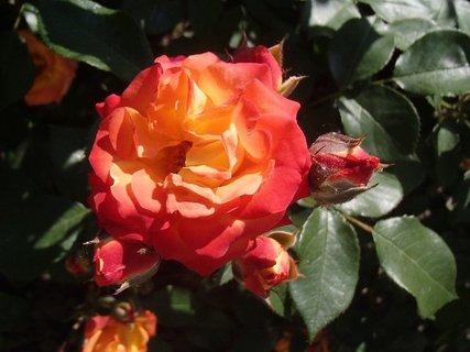 FOTKA - viacfarebná ružička