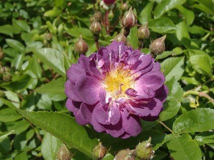 FOTKA - drobná fialková ružička