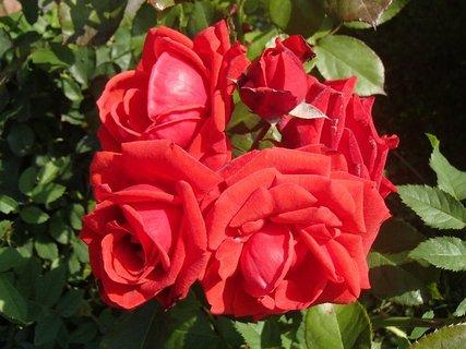 FOTKA - červené ruže pokope
