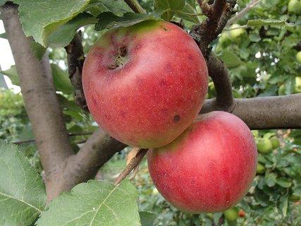 FOTKA - aj jabĺčka zrejú