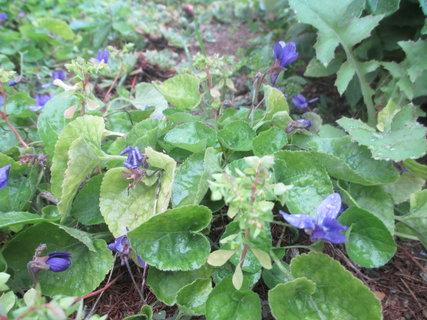 FOTKA - u babičky kvetou na podzim fialky!!! 2