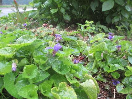 FOTKA - u babičky kvetou na podzim fialky!!! 3