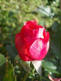 FOTKA - 13.9. - 10.9. - 11 - stále jsou na růži krásný poupata