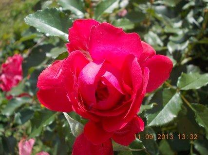 FOTKA - 13.9. - 10.9. - 12 - stále jsou na růži krásný poupata