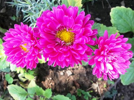 FOTKA - kvetou astry. ..