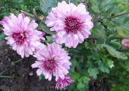 FOTKA - Chryzantémky růžové  . . ..