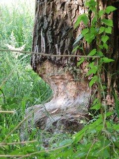 FOTKA - když jde malý bobr spát.... no tady si vybrali pěkný strom ! v lužních lesích na Břeclavsku