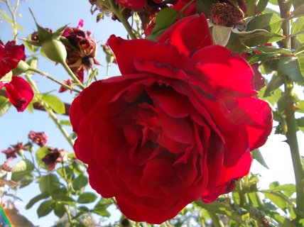 FOTKA - růže popínavá.. .