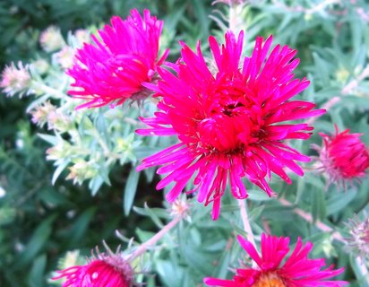 FOTKA - astřičky kvetou..