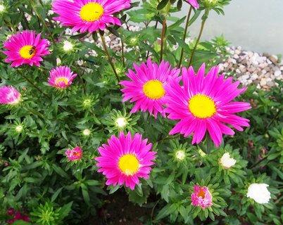 FOTKA - kvetou astry . ..