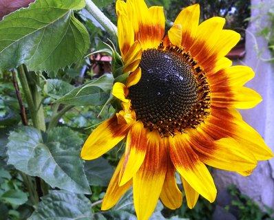 FOTKA - Slunečnice. ...
