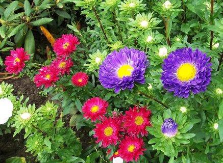FOTKA - kvetou astry .. .