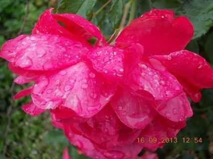 FOTKA - 19.9. - 15.9. - 8 -  v dešti, samá kapka je růže