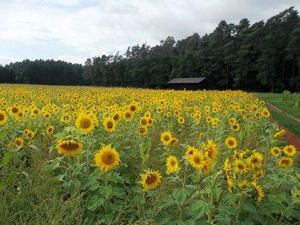 FOTKA - slunečnicové pole