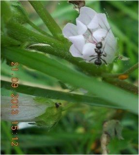 FOTKA - 21.9. - 19.9. - 26 - kvítko s mravencem