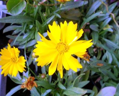 FOTKA - žluté květy u obchodu