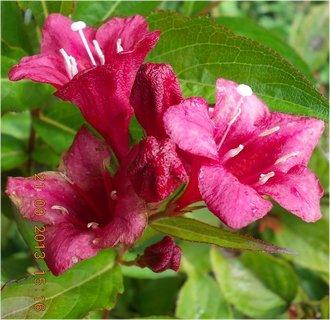 FOTKA - 22.9. - 21.9 - 14 - květy Wiegely