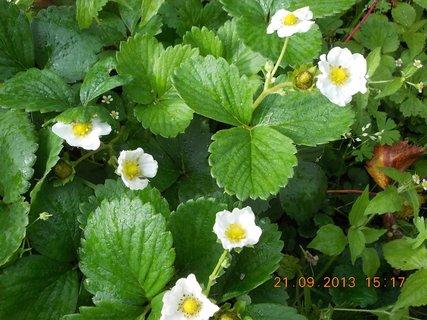 FOTKA - 22.9. - 21.9 - 17 - jahody stále kvetou