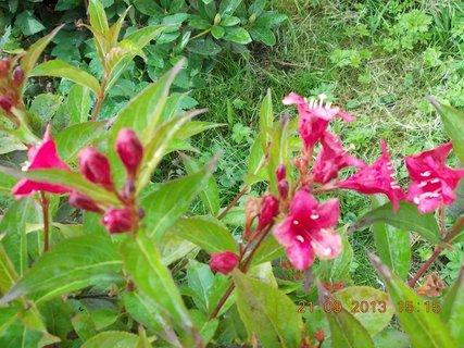 FOTKA - 22.9. - 21.9 - 12 - květy Wiegely