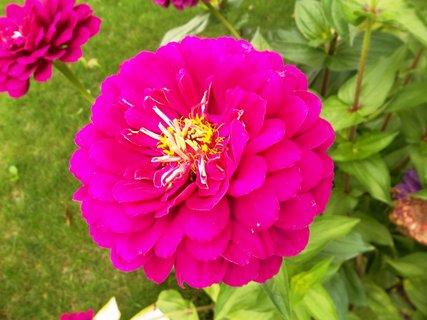 FOTKA - kvetou cínie..