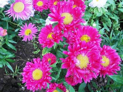 FOTKA - kvetou astry....