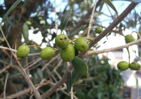 FOTKA - olivy