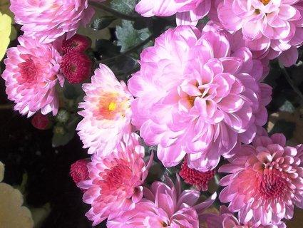 FOTKA - Chryzantémy růžové .