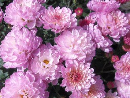 FOTKA - Chryzantémy růžové..